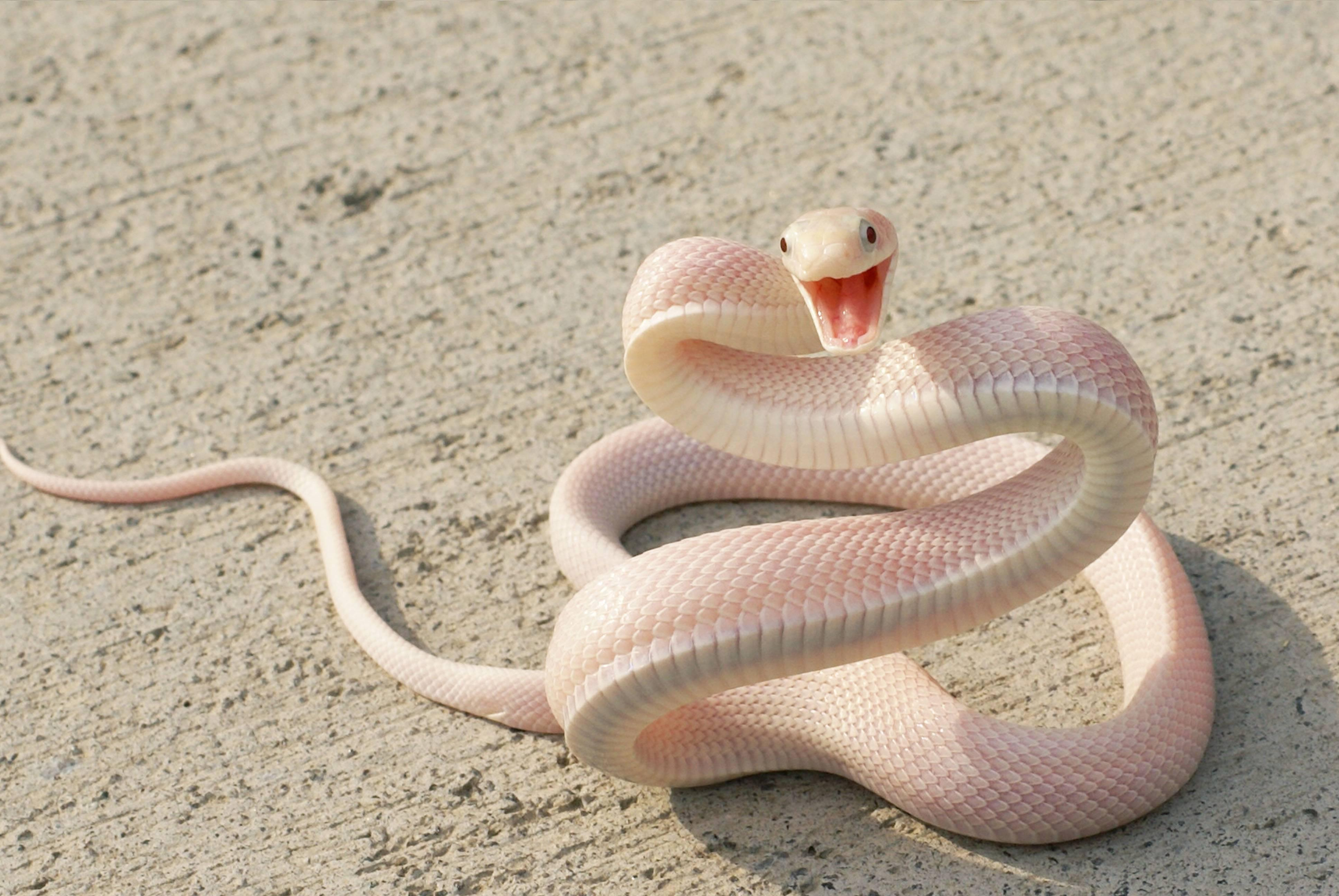 Snake Ready To Attack , HD Wallpaper & Backgrounds
