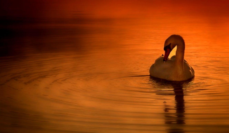 Miscellaneous Sunset Swan Lake Beautiful Wallpaper - Beautiful Swan In Lake , HD Wallpaper & Backgrounds