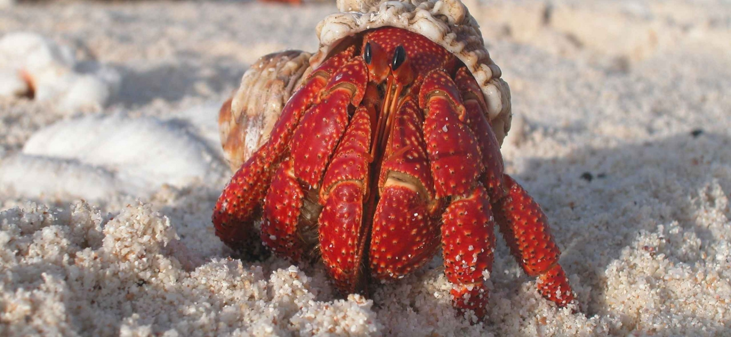 Right Click To Save Or Set As Desktop Background - Hermit Crab Animal , HD Wallpaper & Backgrounds