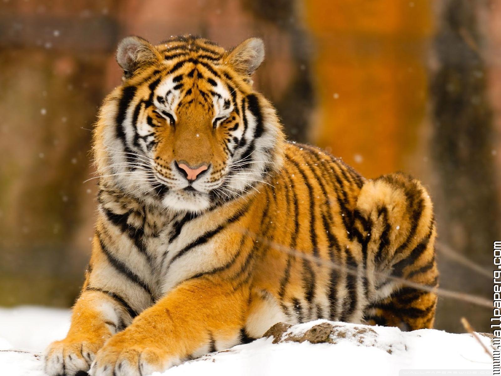 Download Sleepy Siberian Tiger Wild Animal Wallpaper - Hd Images Of Wild Animals , HD Wallpaper & Backgrounds
