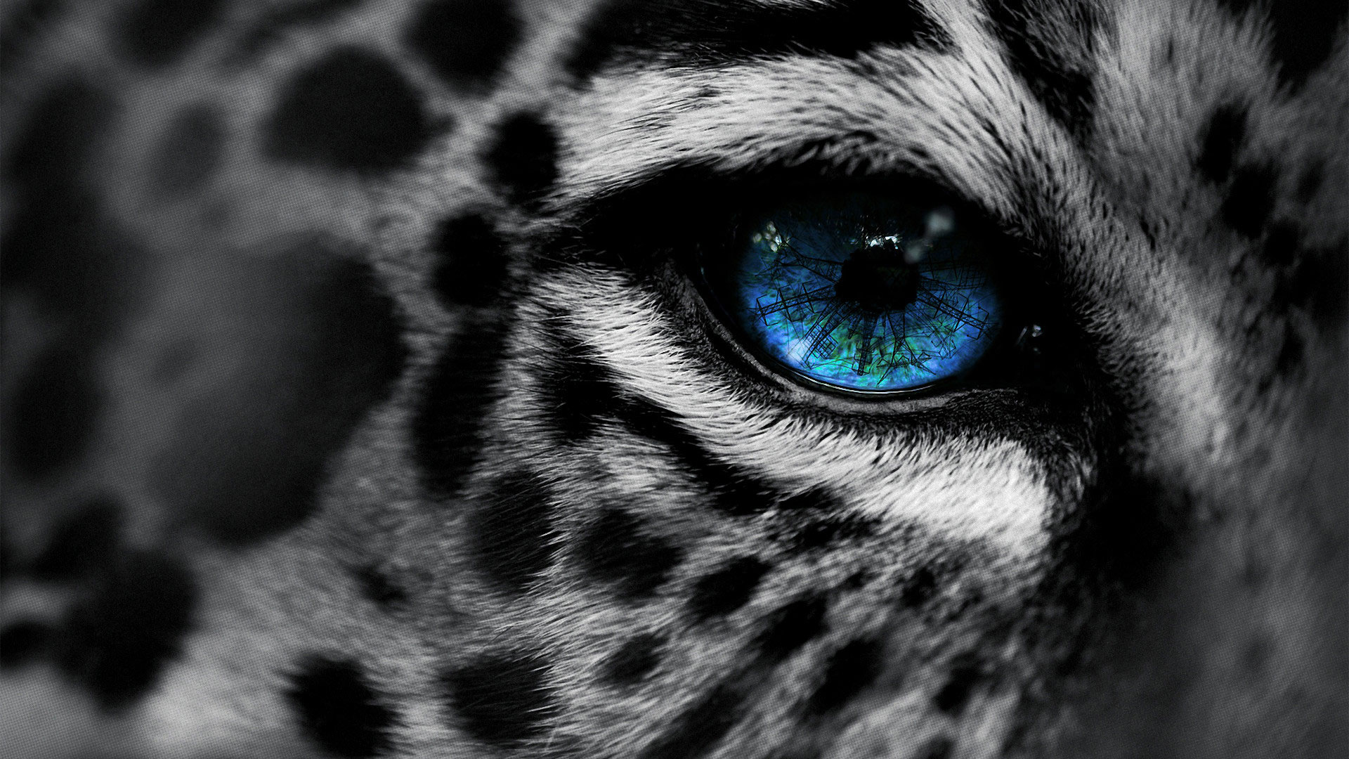 Beautiful Wild Animals Wallpapers Blue Eyed Snow Leopard