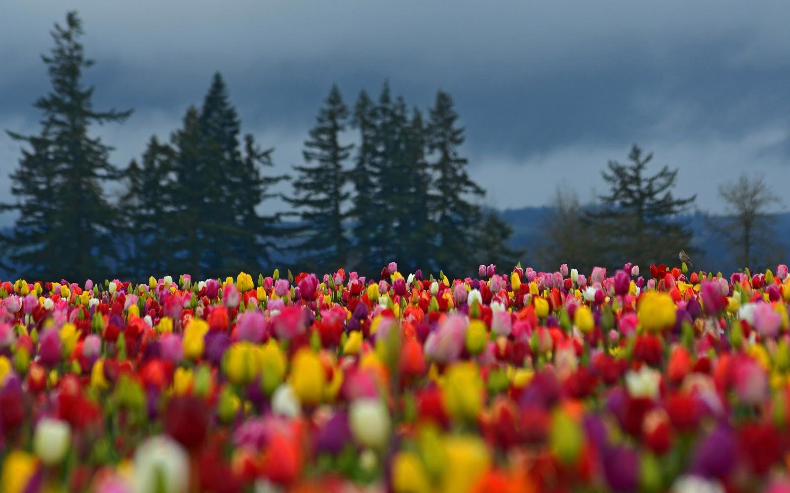 Wallpaper Met Een Prachtig Veld Vol Verschillende Kleuren - Colorful Flowers Field , HD Wallpaper & Backgrounds