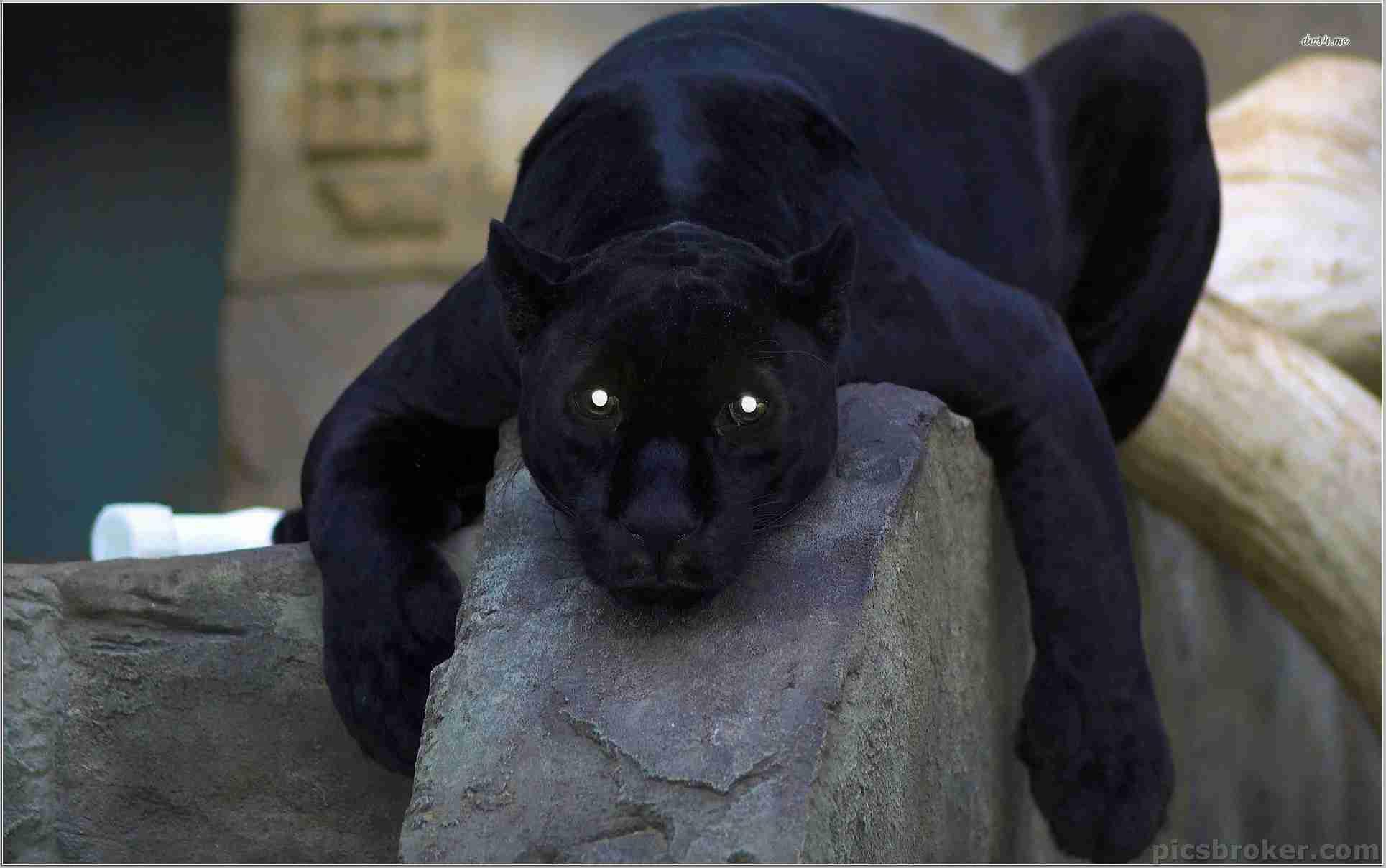 Black Panther Animal 4k Wallpaper Iphone Black Panther Animal 2200672 Hd Wallpaper Backgrounds Download