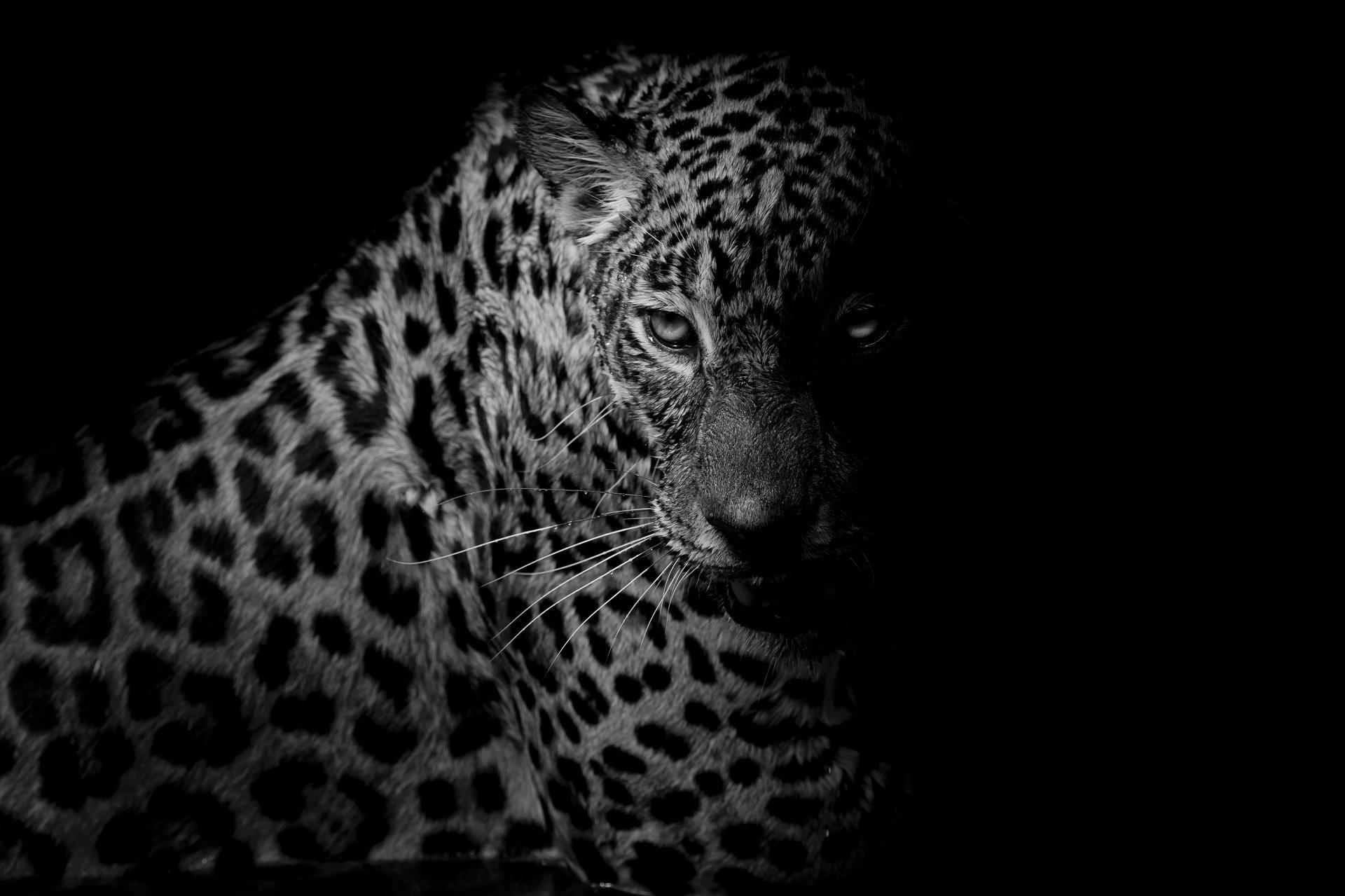 Black Leopard 2201164 Hd Wallpaper Backgrounds Download