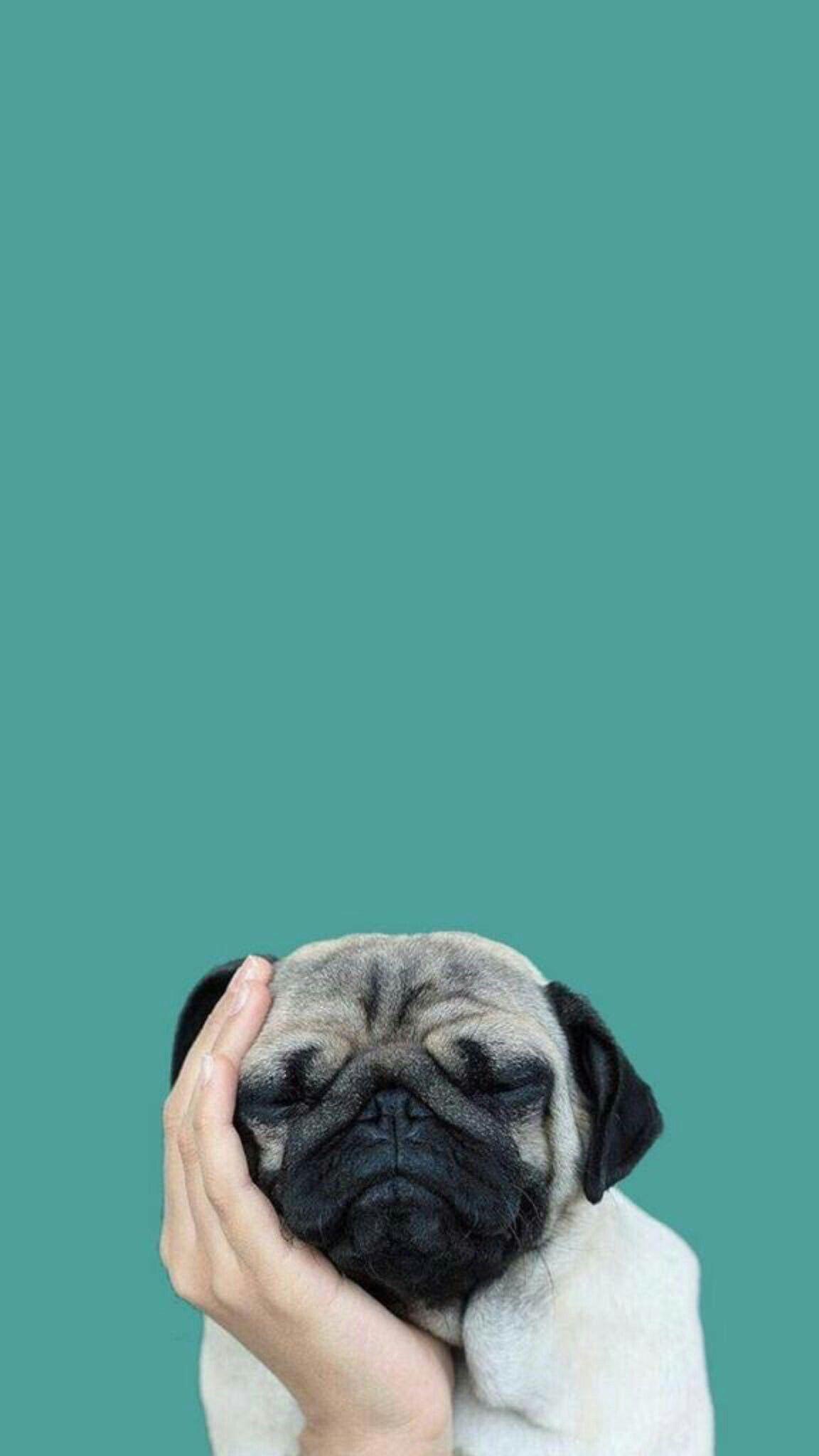Pug Wallpaper Hd Phone 2270562 Hd Wallpaper
