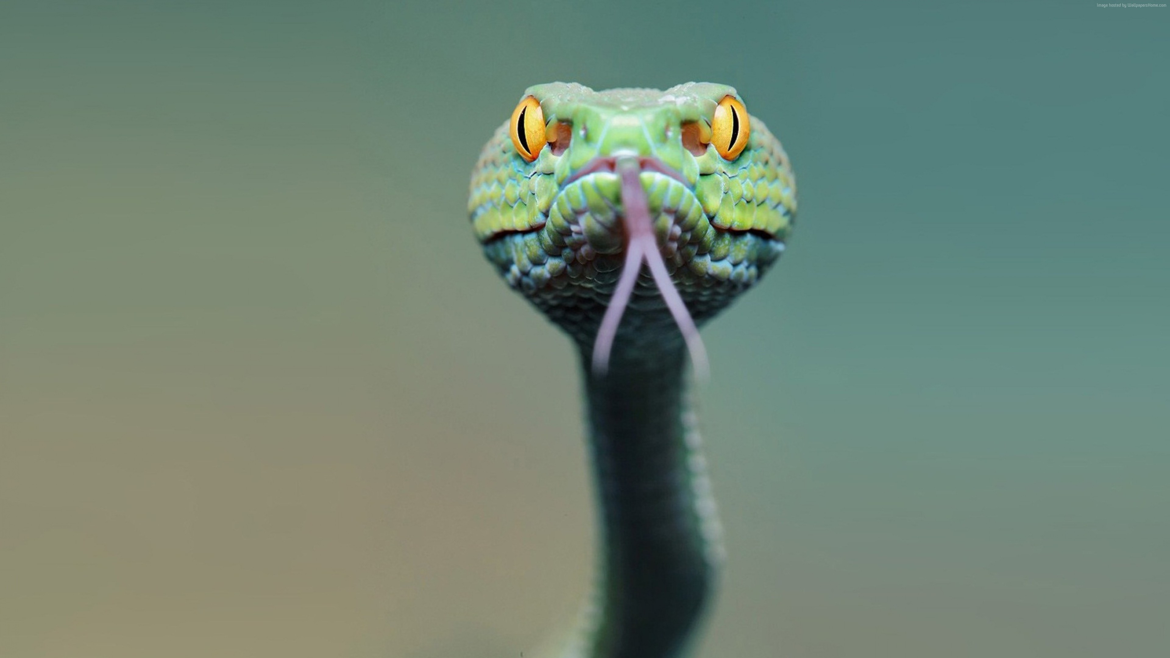Snake Face From Front 2273908 Hd Wallpaper