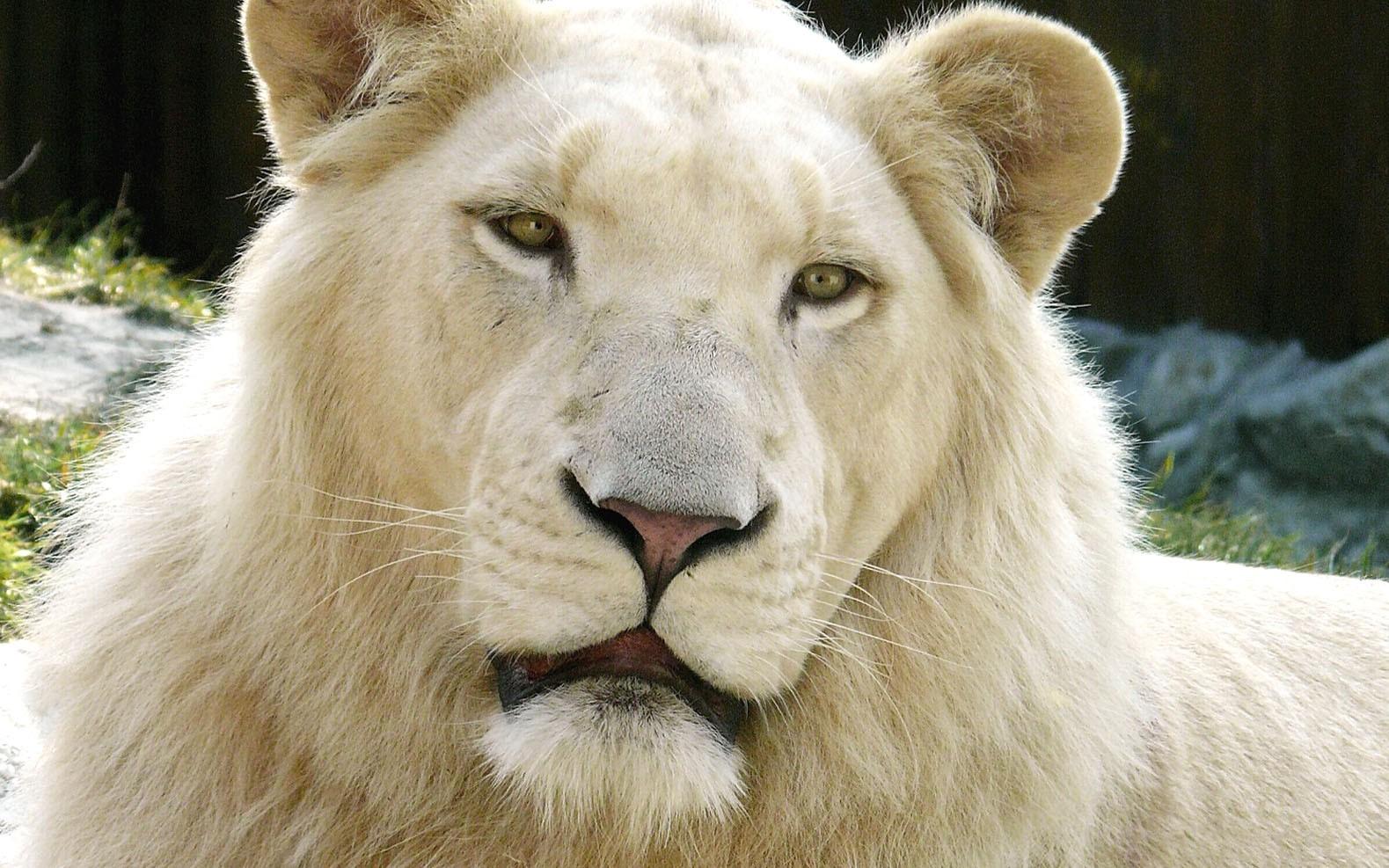 White Lion , HD Wallpaper & Backgrounds