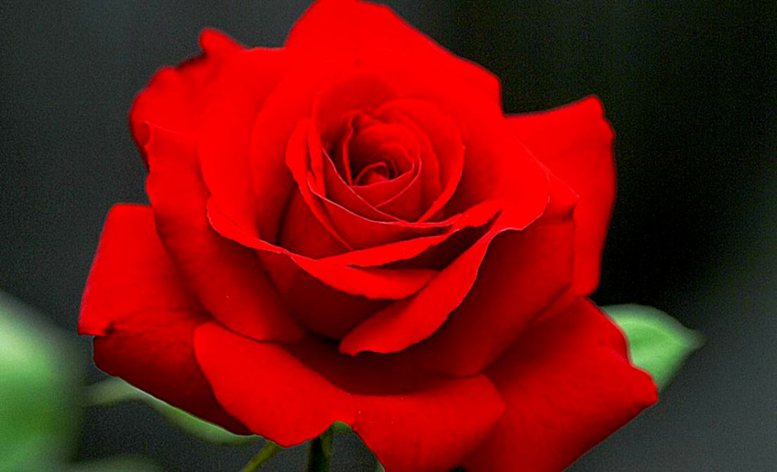 229 2294180 wallpapers of flower rose 3d page 2 of