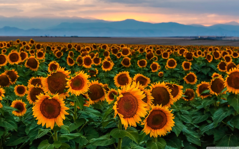 High Resolution Sunflower Field 2298722 Hd Wallpaper Backgrounds Download