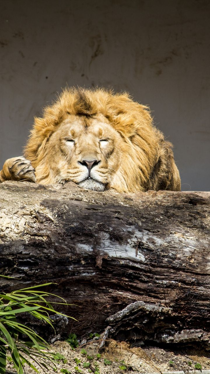 Lion, Relaxed, Predator, Animal, Wild, Wallpaper - Relaxed Lion , HD Wallpaper & Backgrounds