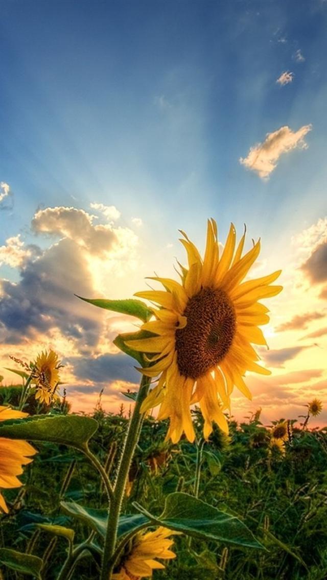 Sunflower Field Sunflower Field Iphone Background 238823 Hd Wallpaper Backgrounds Download