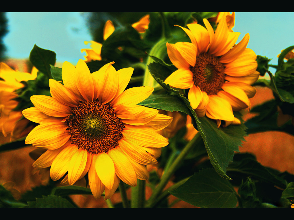 Sunflower Splendid Wallpaper Hd - Beautiful Sunflowers , HD Wallpaper & Backgrounds