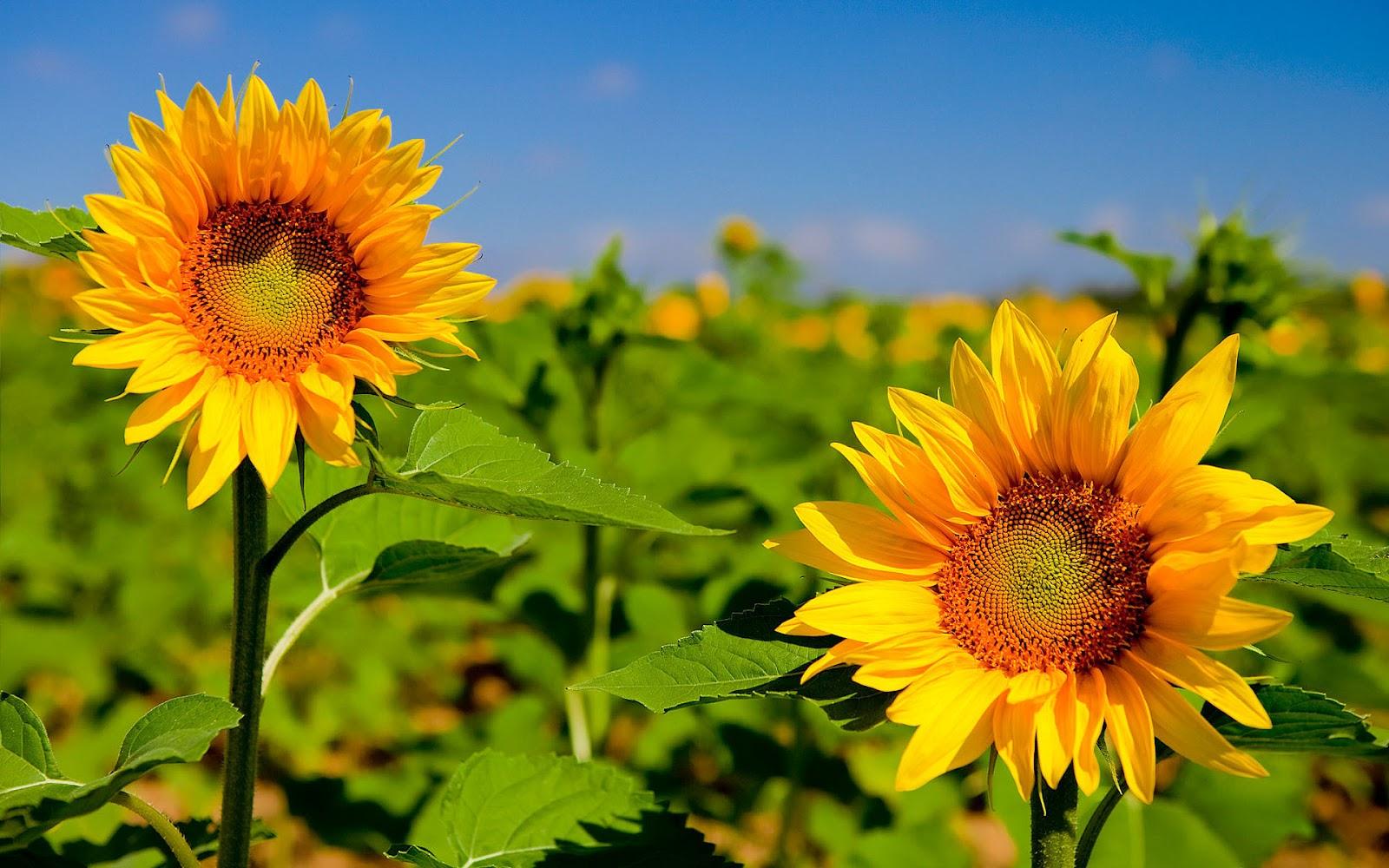 Hd Sunflower Wallpaper Pictures - Desktop Bing , HD Wallpaper & Backgrounds