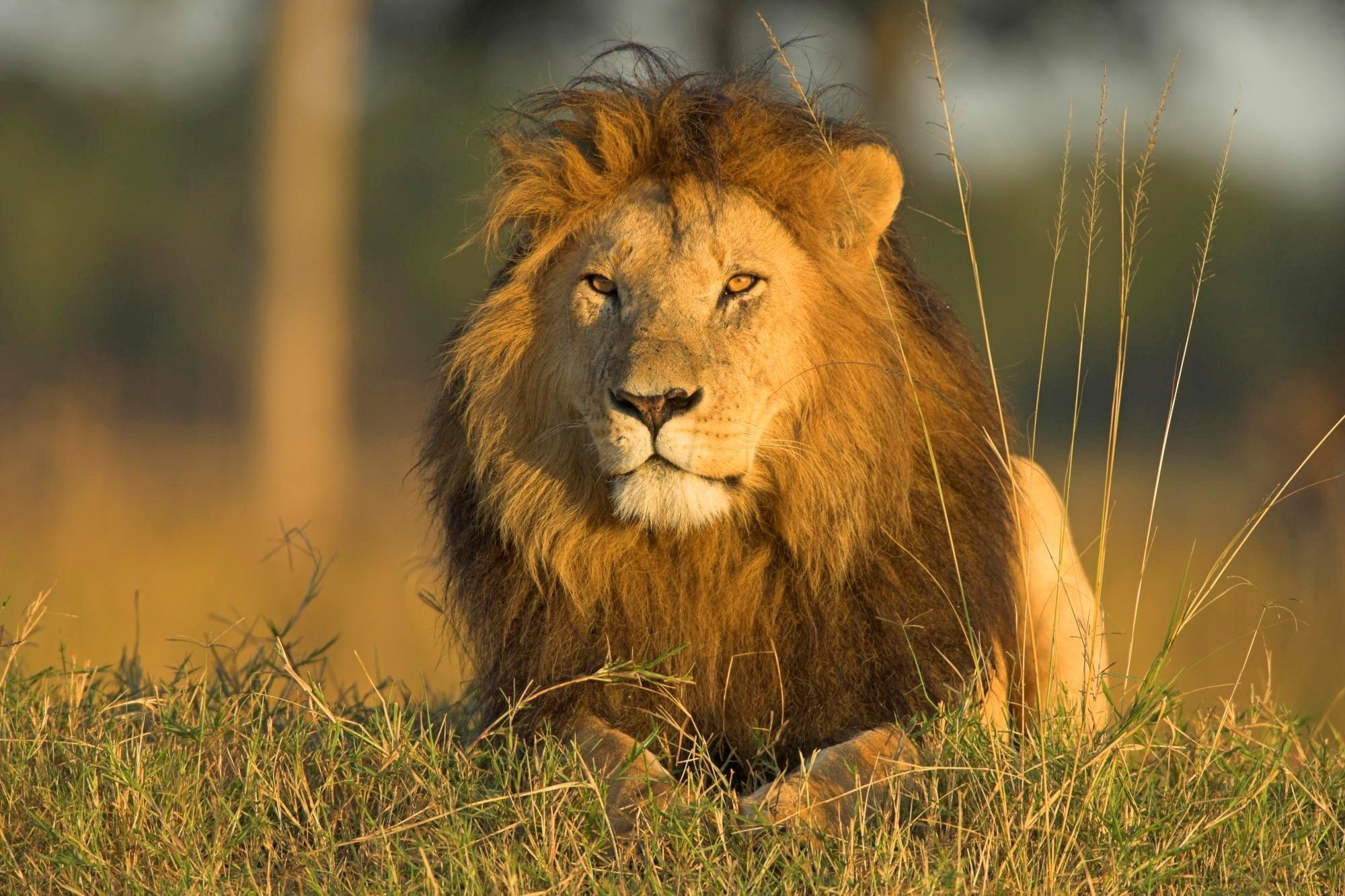 Lion Ke Wallpaper Hd , HD Wallpaper & Backgrounds