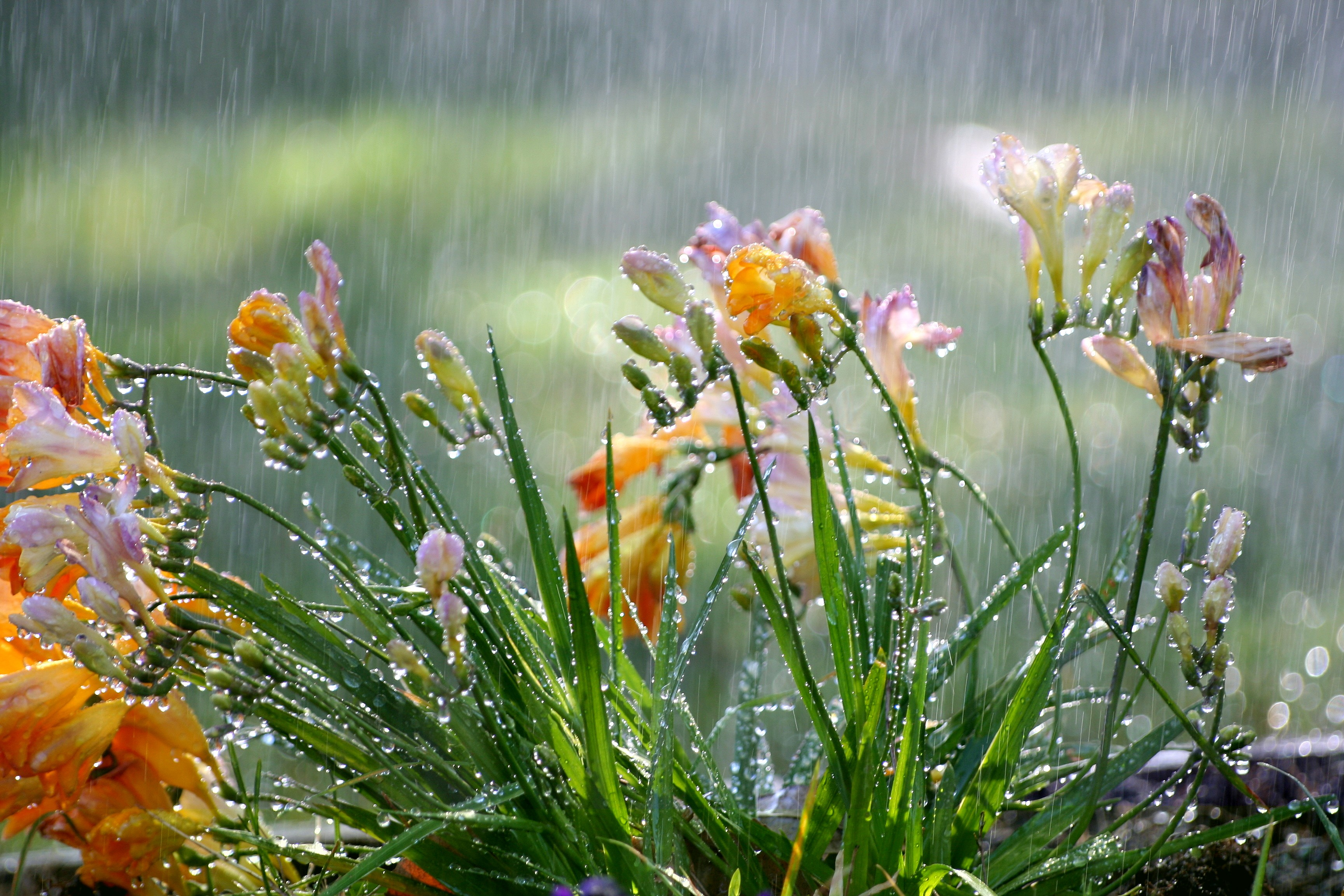 Spring Rain And Flowers (#2319987) - HD Wallpaper & Backgrounds ...