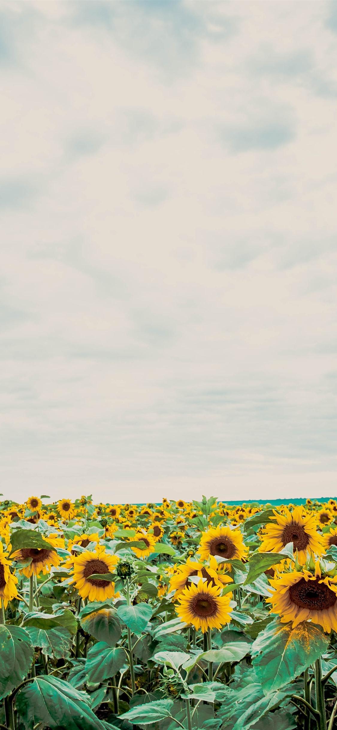 Iphone X Wallpaper Sunflower 2352106 Hd Wallpaper
