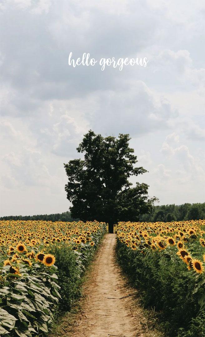 Sunflower Wallpaper Iphone 2352197 Hd Wallpaper