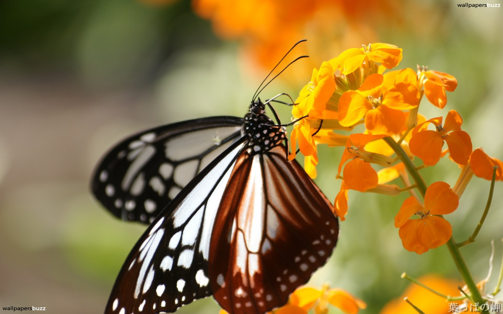 Butterfly With Flower Hd , HD Wallpaper & Backgrounds
