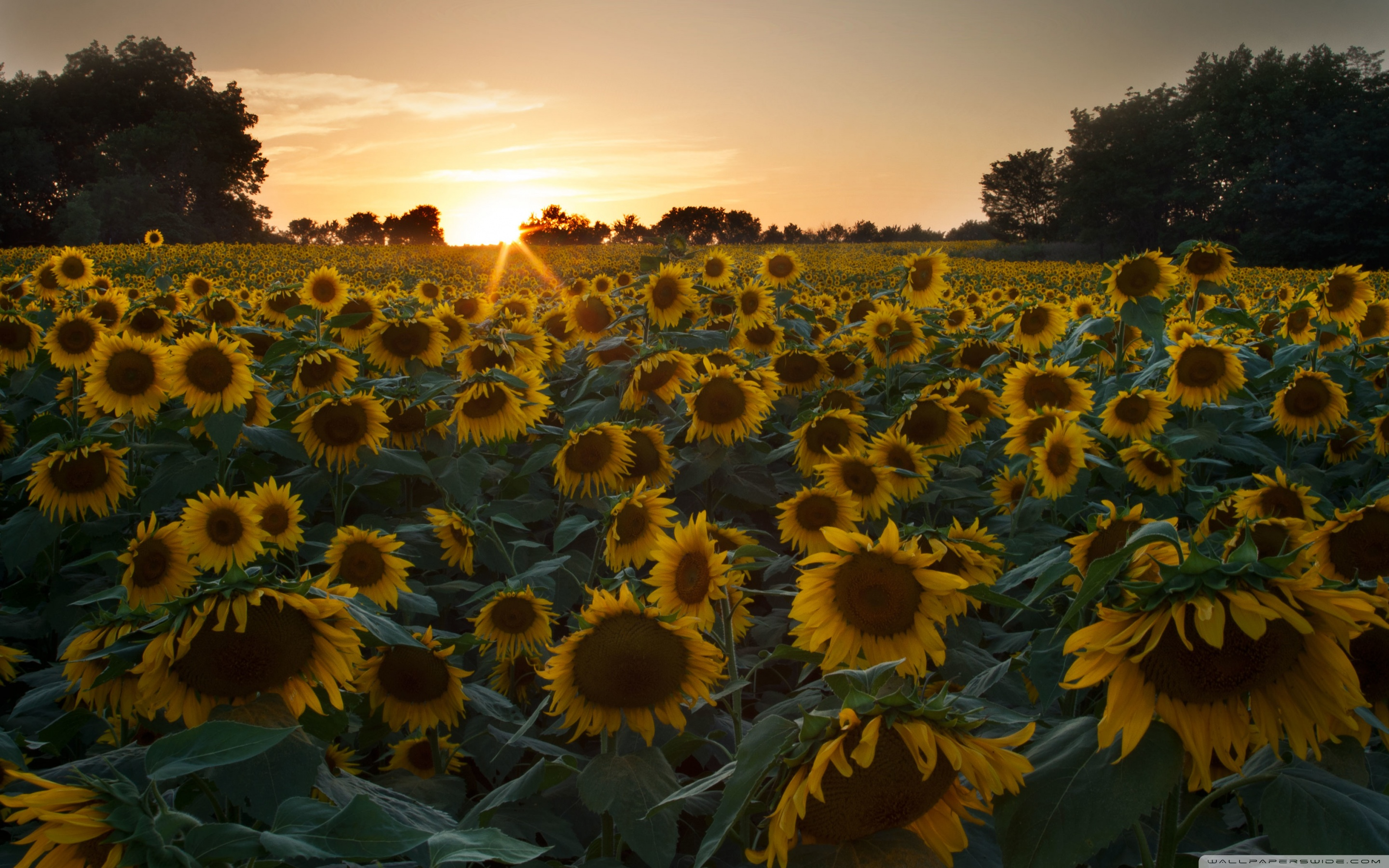 Wide - Sunflower Wallpapers For Phone , HD Wallpaper & Backgrounds