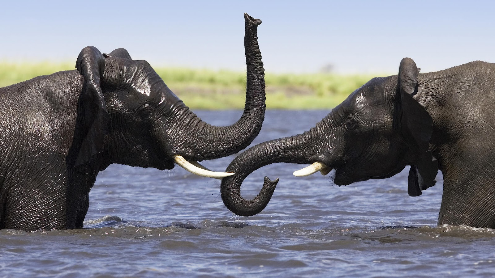 Back To 57 Elephant Wallpapers Hd - Elephants Coming Out Of Water , HD Wallpaper & Backgrounds
