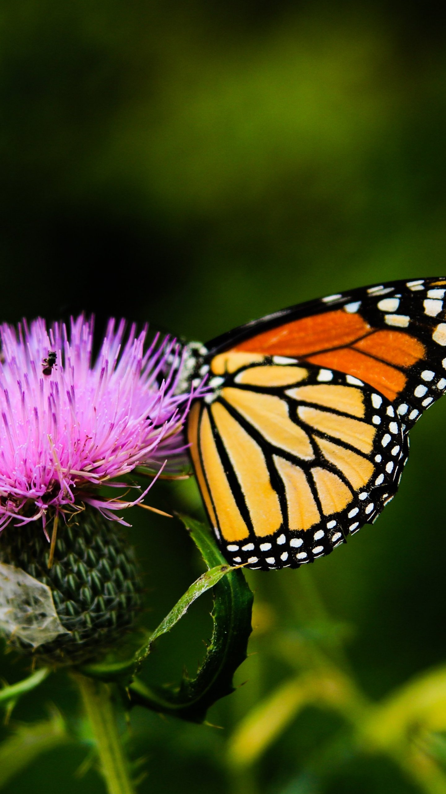 Monarch Butterfly On Thistle Flower - Living Harmony In Nature , HD Wallpaper & Backgrounds