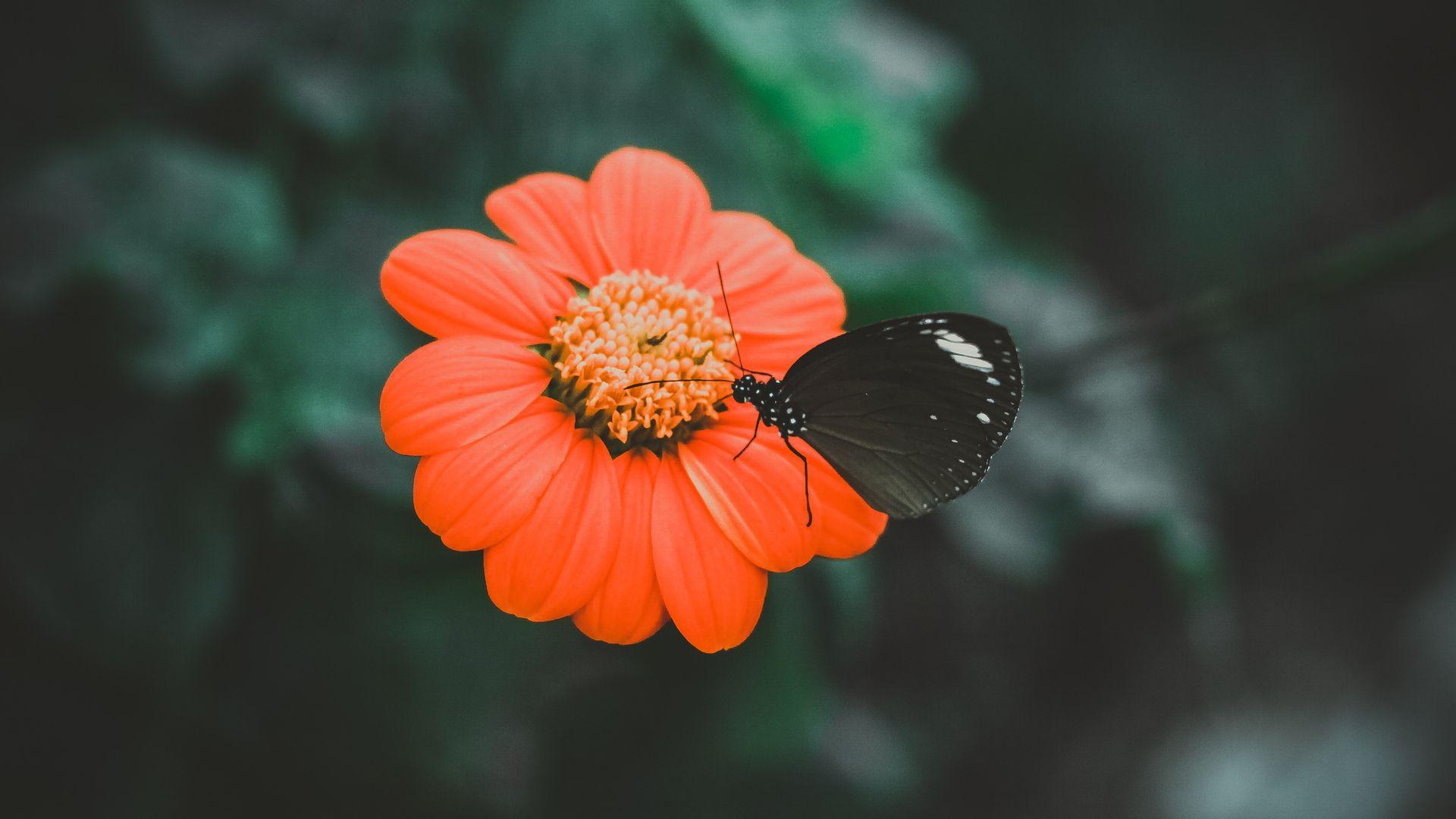 Butterfly On Flower - Black Butterfly Pc , HD Wallpaper & Backgrounds