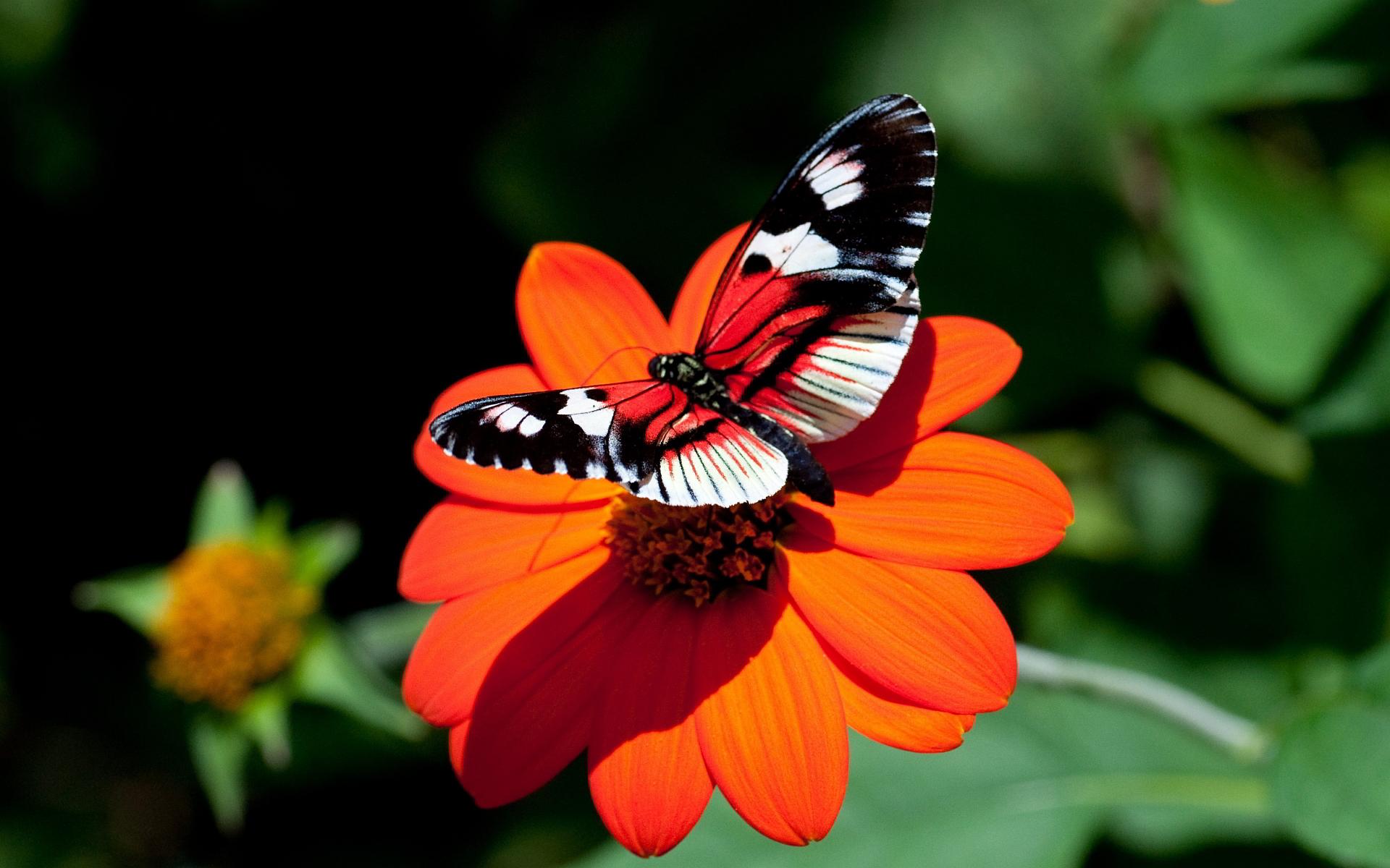 Butterfly On Red Flower , HD Wallpaper & Backgrounds