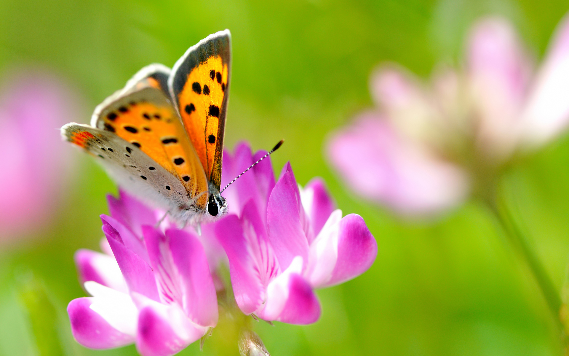 Beautiful Butterfly On Pink Flower - Beautiful Butterfly On Flower , HD Wallpaper & Backgrounds