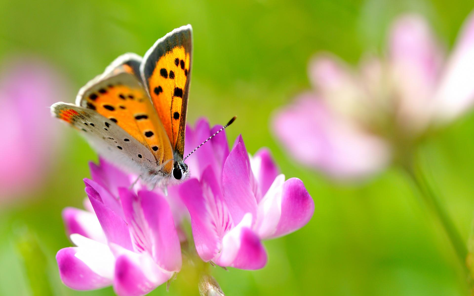 Beautiful Butterfly On Pink Flower - Beautiful Butterfly On Flower , HD Wallpaper & Backgrounds