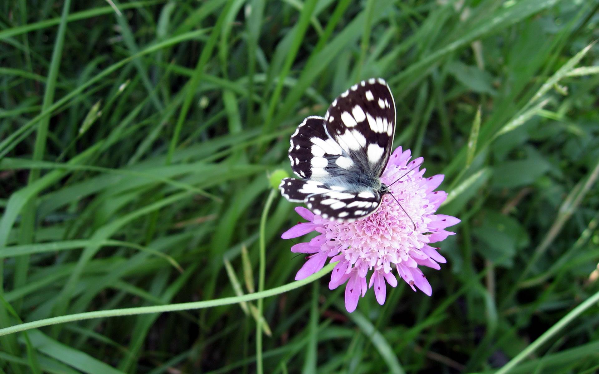 Butterfly Flower Wallpapers Wide Full - Melanargia Galathea , HD Wallpaper & Backgrounds