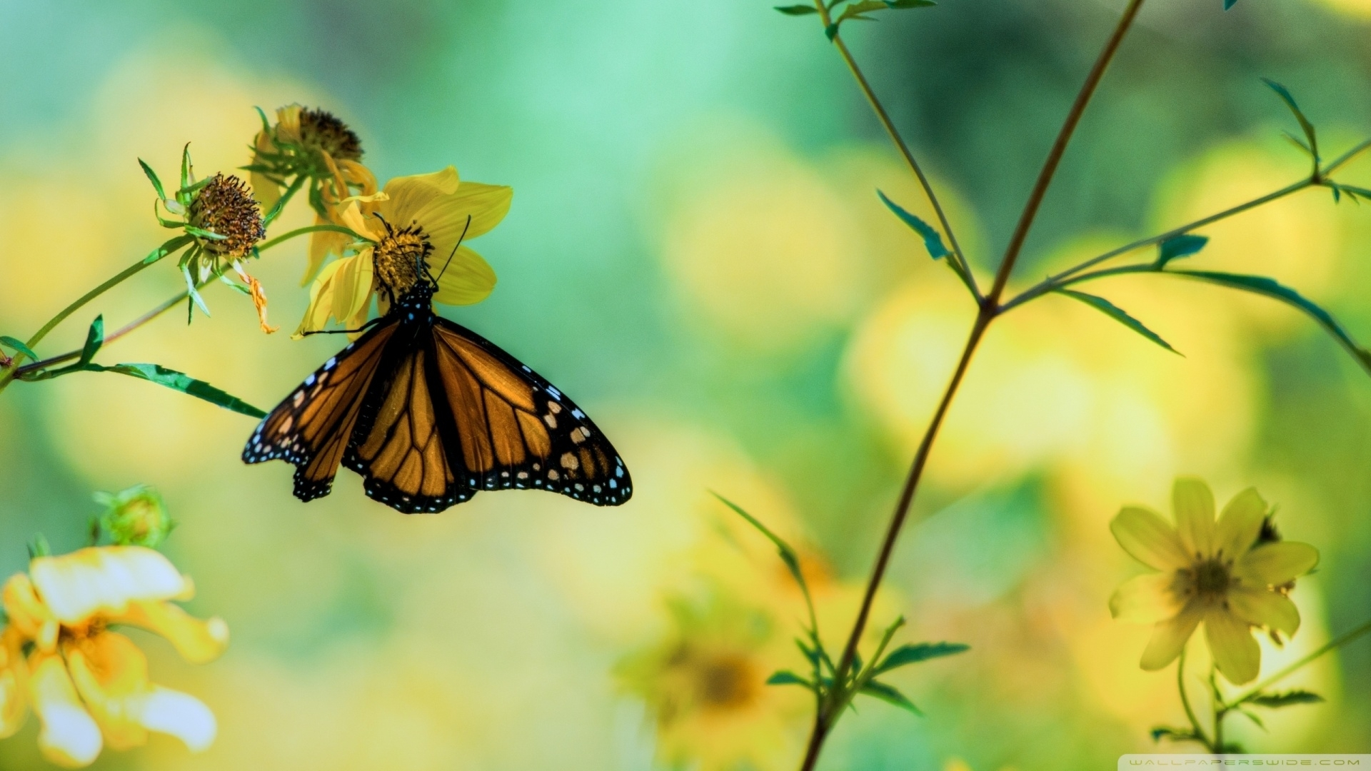 Great Monarch Butterfly On Yellow Flowers Wallpaper