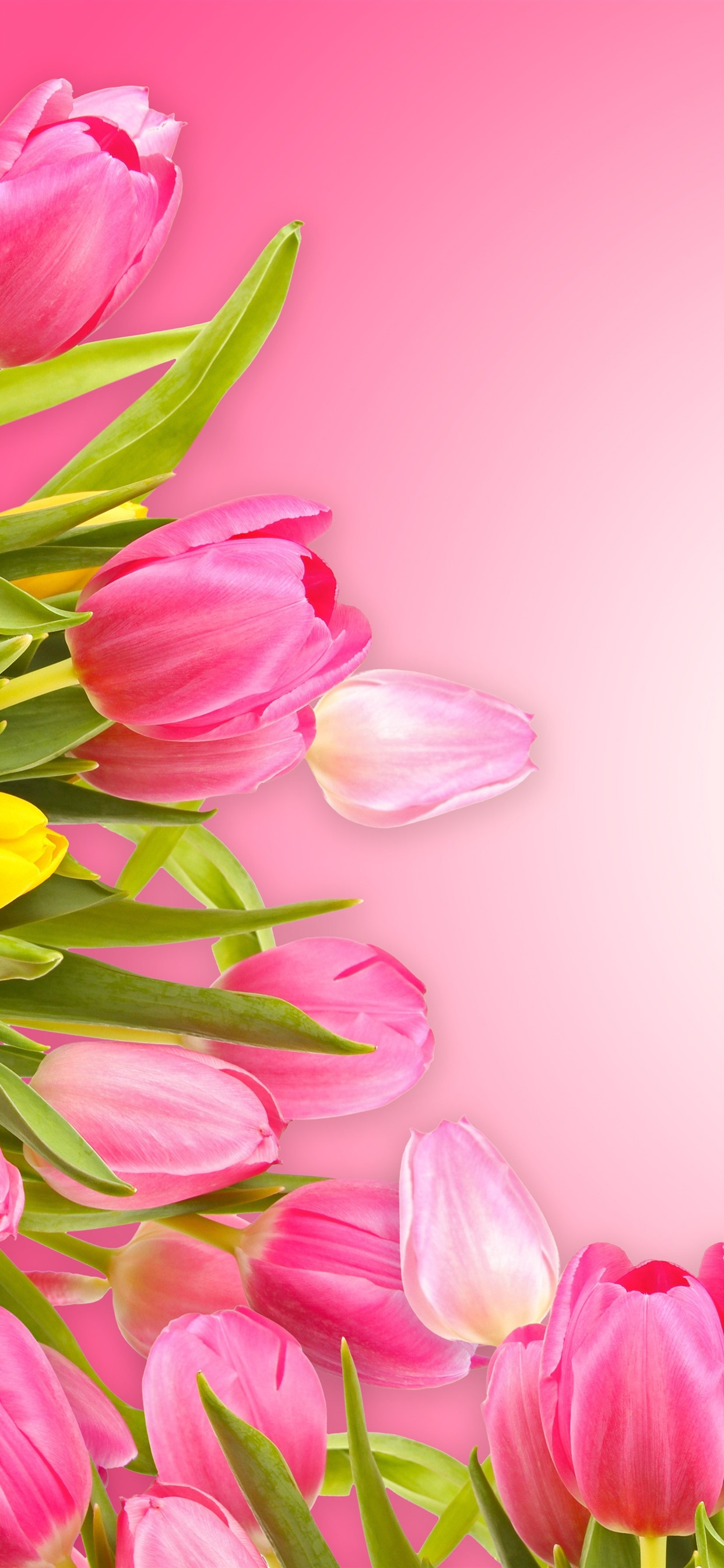 Iphone Wallpaper Pink Tulips Pink Background Tulips Background Hd 2420146 Hd Wallpaper Backgrounds Download