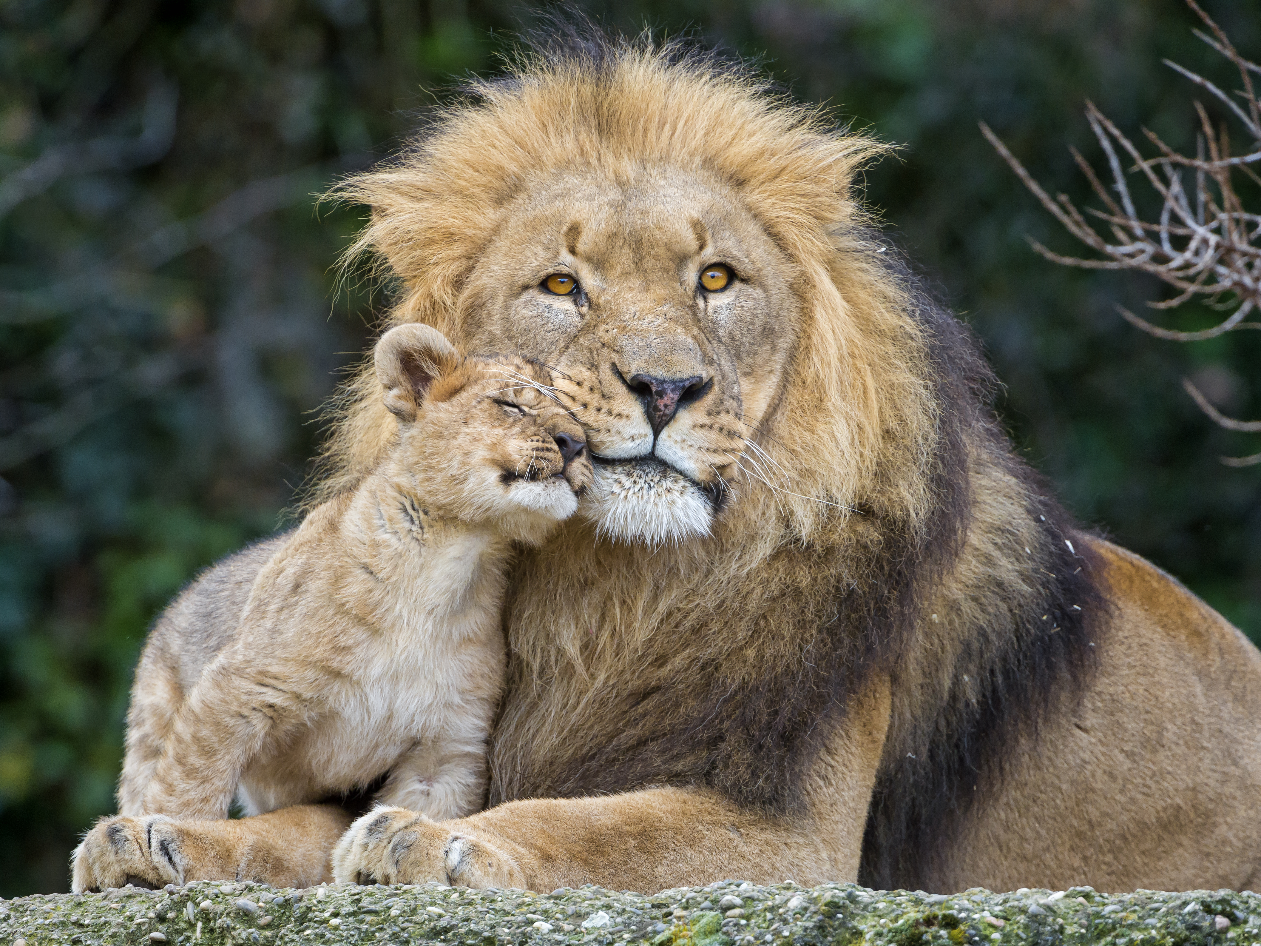 Lion And Baby Lion Hd , HD Wallpaper & Backgrounds