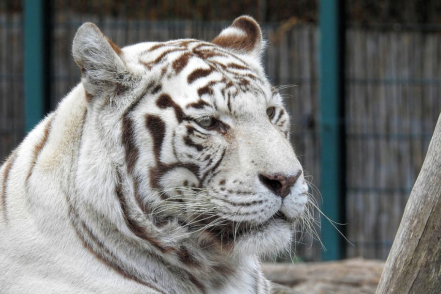 White-tiger, Predator, Big Cat, Zoo, Rarely, Animal - Tigre Branco Jardim Zoologico , HD Wallpaper & Backgrounds