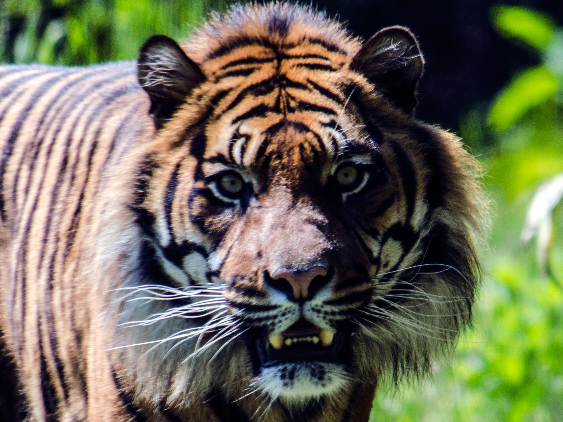 Angry Tiger Wallpapers - Angry Lion Tiger Hd , HD Wallpaper & Backgrounds