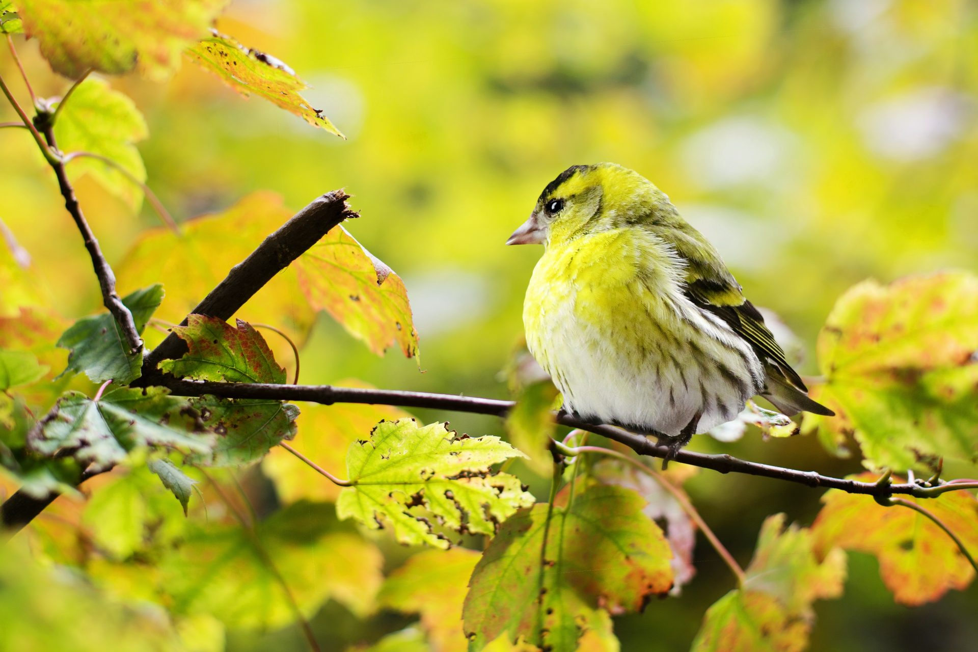 Lovely Yellow Bird Wallpaper With Yellow Leaves - Birds Of Northern Wisconsin , HD Wallpaper & Backgrounds