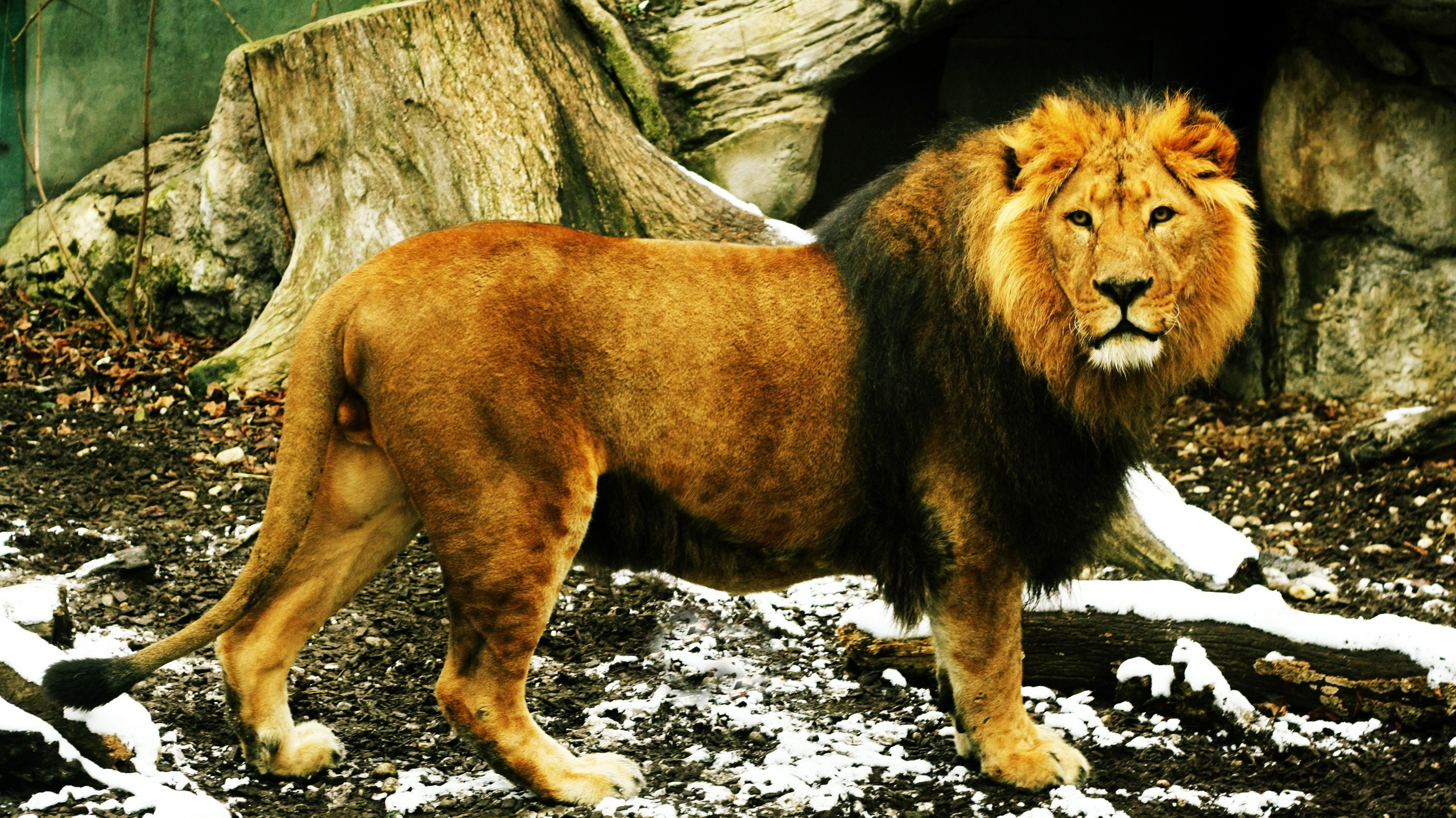 Lion Wallpapers - Lion Pic Full Hd , HD Wallpaper & Backgrounds