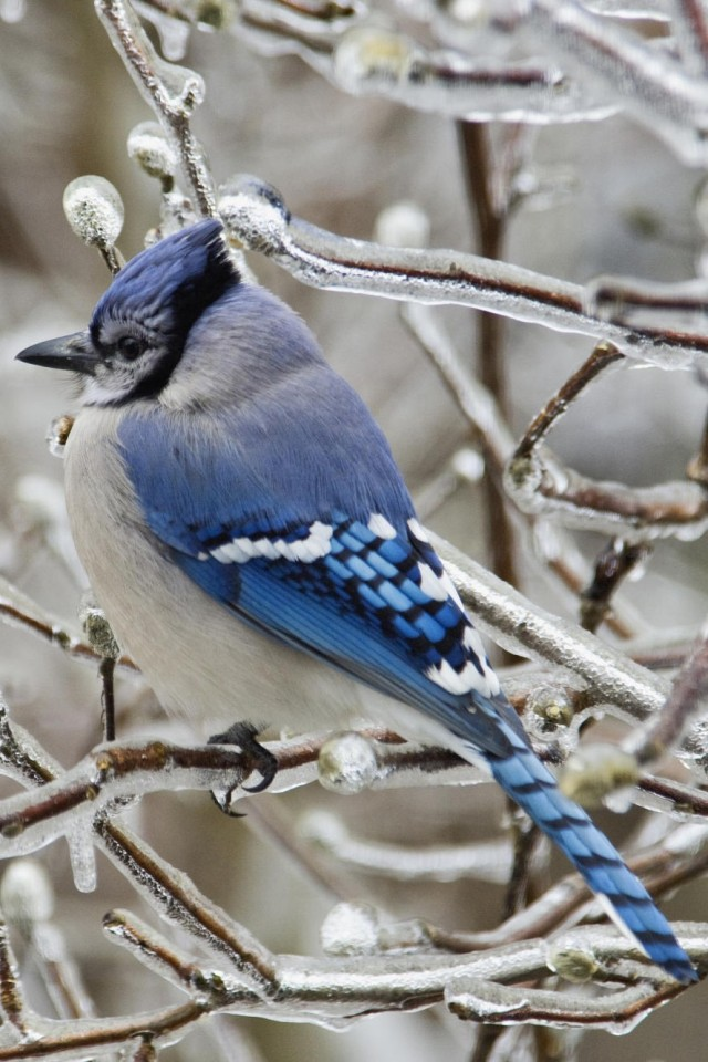 Blue Jay Wallpaper In Hd And Many Other Resolutions - Blue Bird In Winter , HD Wallpaper & Backgrounds