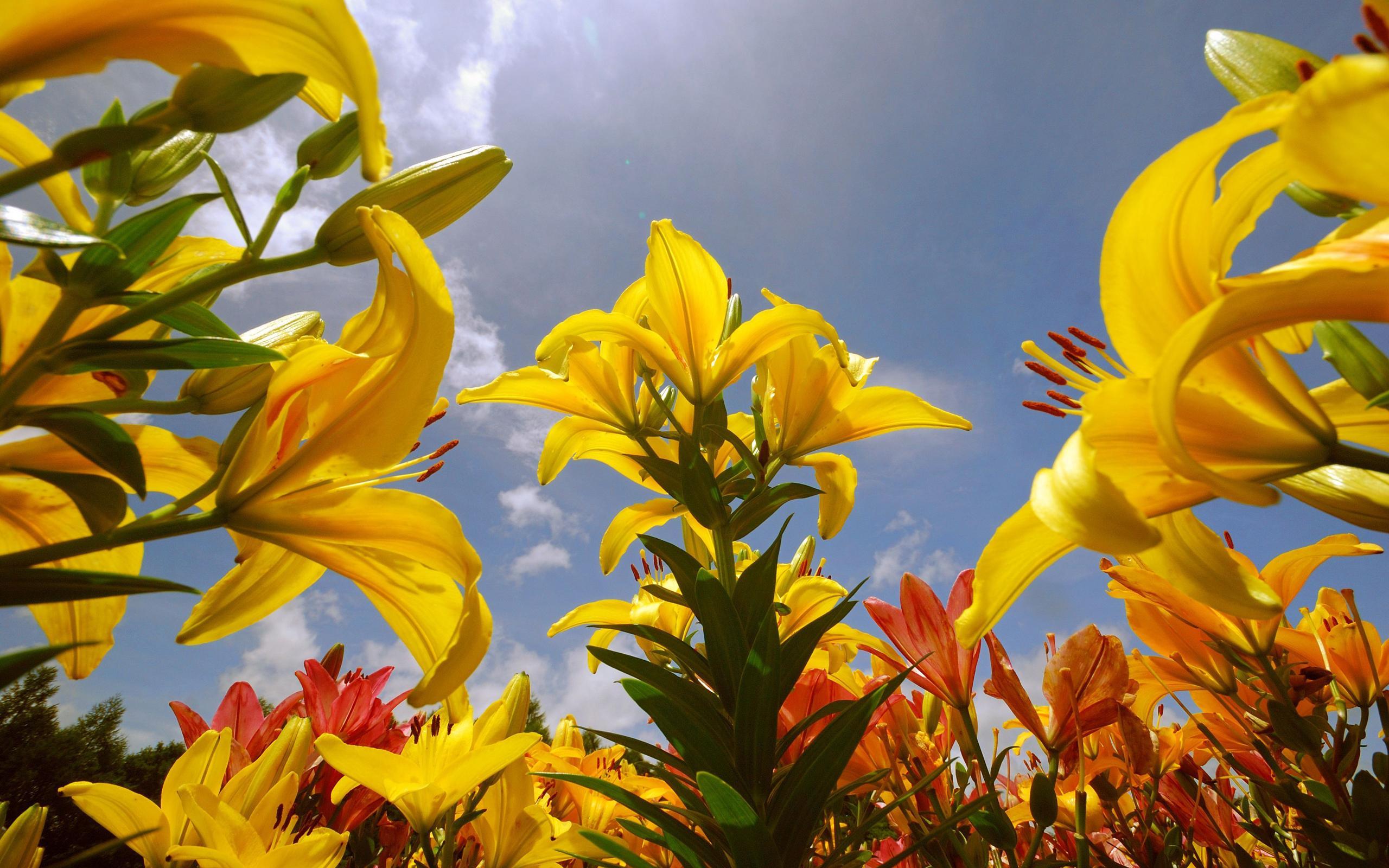Hd Summer Lily Flower , HD Wallpaper & Backgrounds