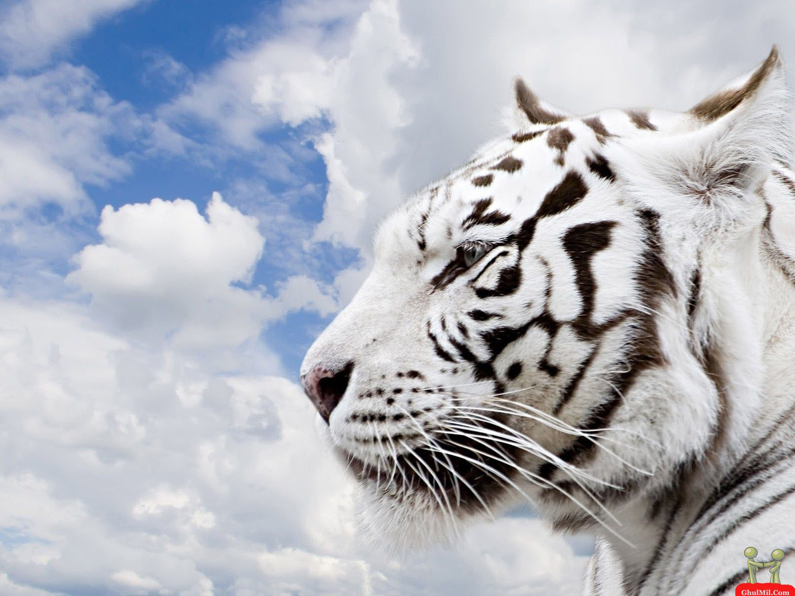 White Tiger, Download Photo, Wallpapers For Desktop - Lion Tiger Cheetah , HD Wallpaper & Backgrounds