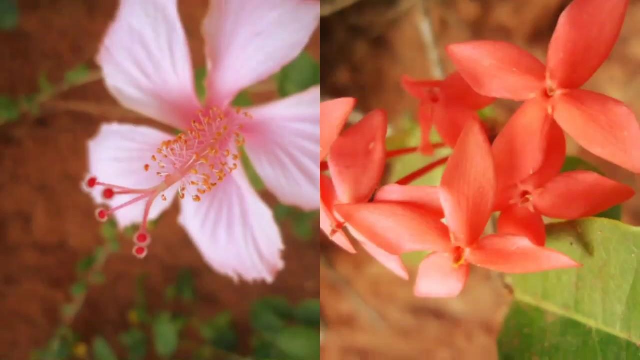 Peruvian Lily , HD Wallpaper & Backgrounds