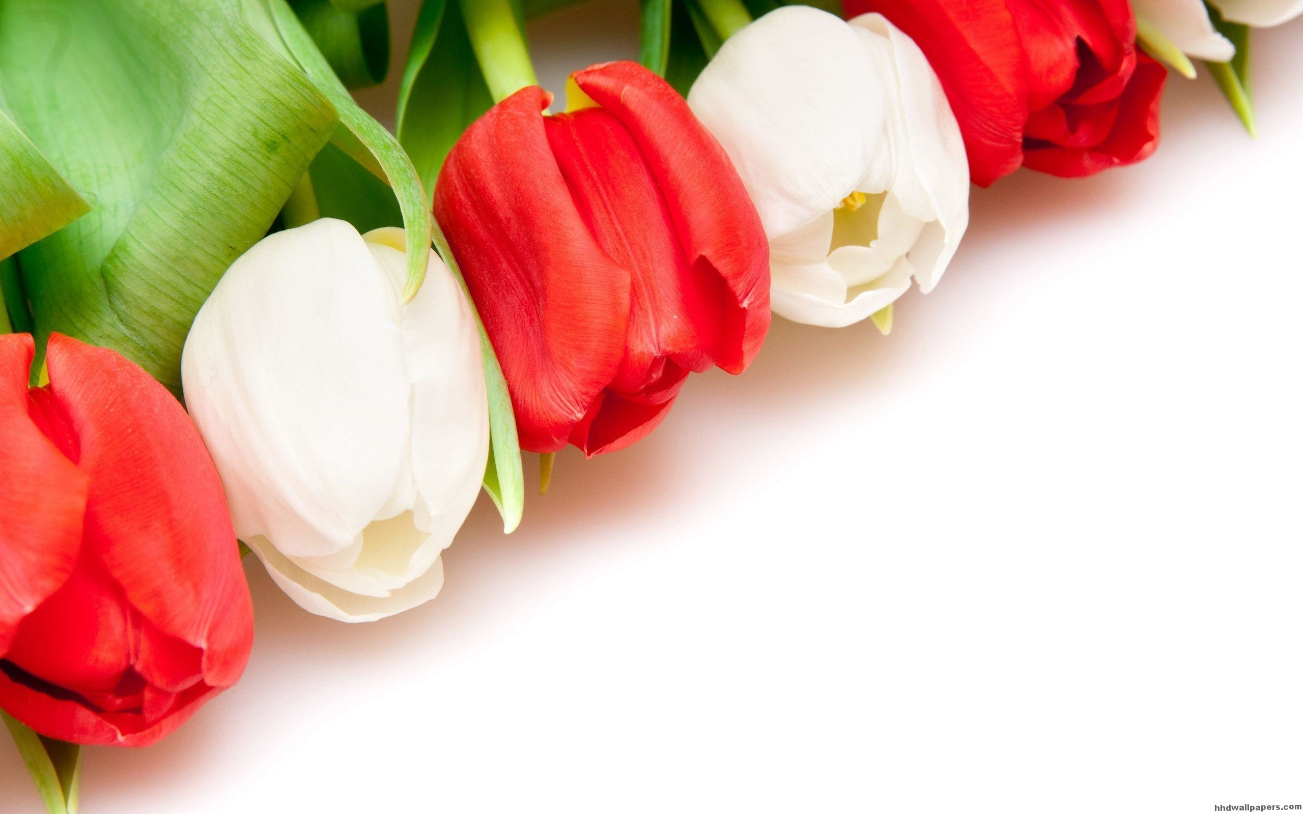 Red And White Tulips Flower Wallpaper   Data Src Tulip - Flowers Wallpapers With White Background , HD Wallpaper & Backgrounds