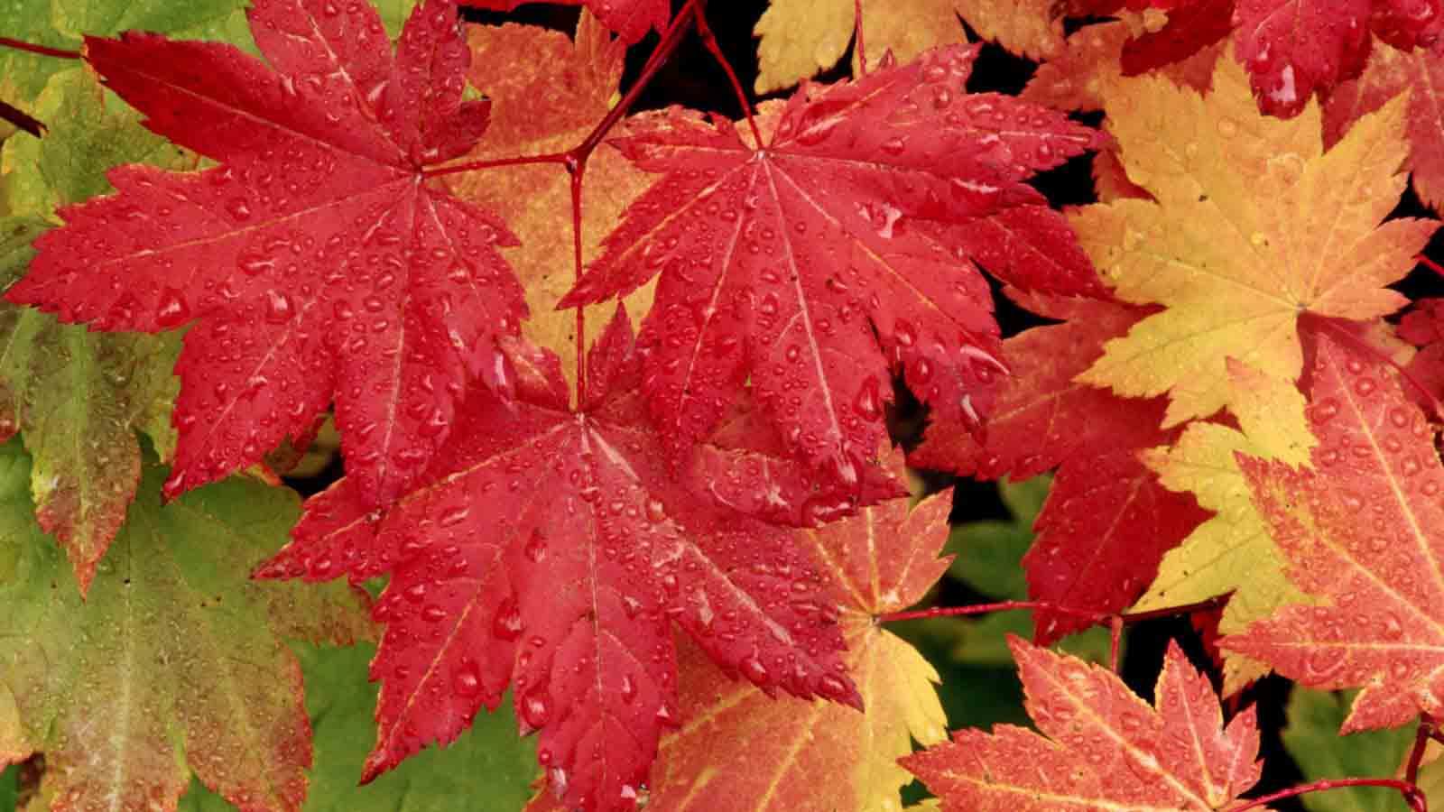 20 Latest Autumn Maple Leaves Hd Wallpaper 2011 - Maple Leaf Facebook Background , HD Wallpaper & Backgrounds