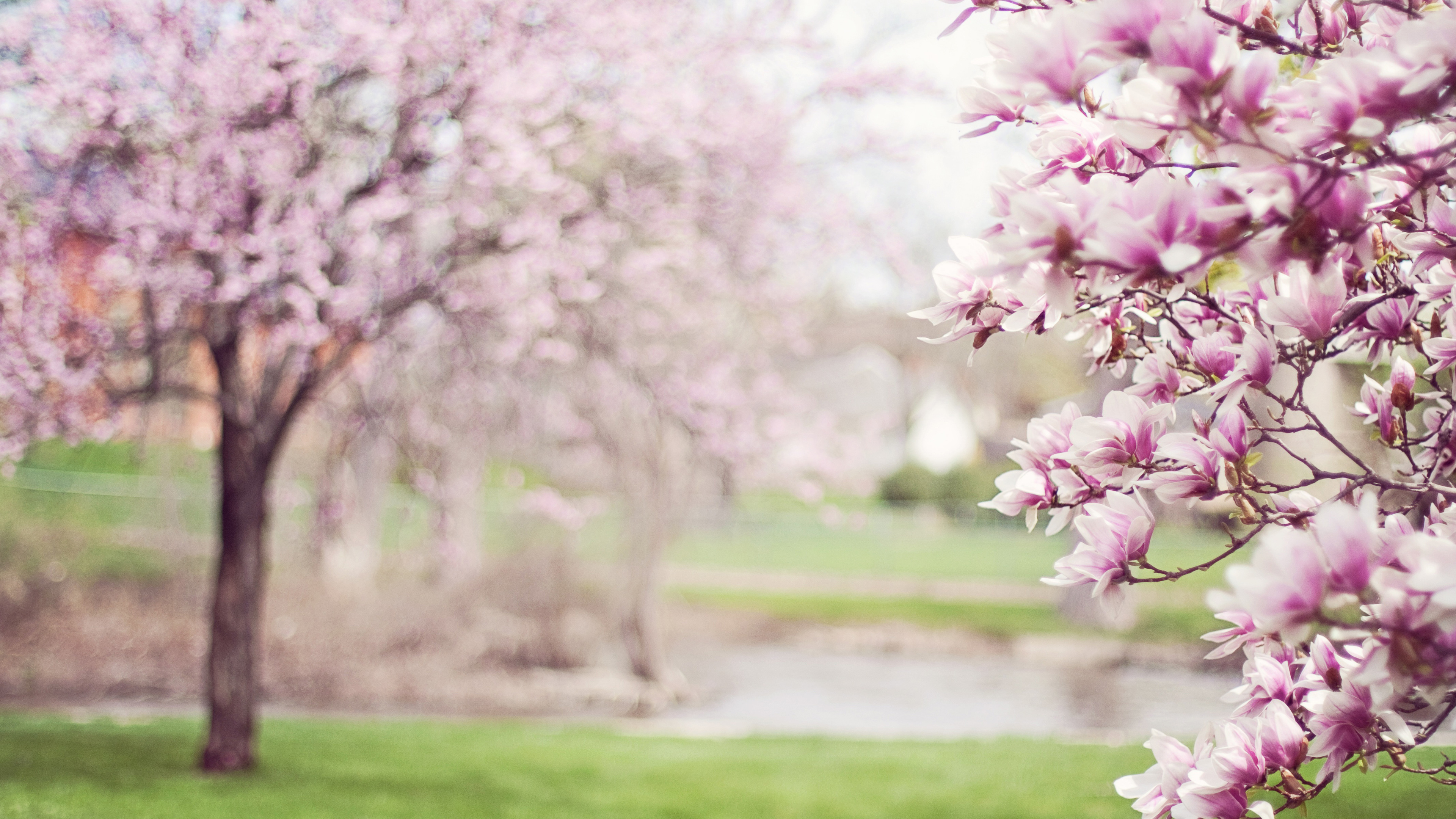 Cherry Blossom Tree 4k - Magical Cherry Blossom Tree , HD Wallpaper & Backgrounds
