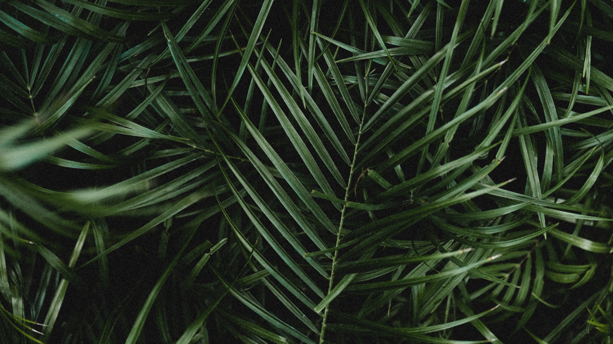 Wallpaper Palm Leaves Branches Plant Green Dark Palm Leaves Wallpaper Dark 2549779 Hd Wallpaper Backgrounds Download