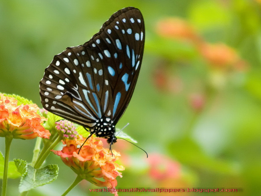 Brush-footed Butterfly , HD Wallpaper & Backgrounds