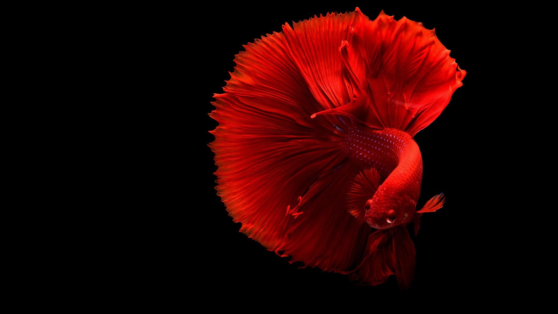 Siamese Fighting Fish 4k Laptop Full Hd 1080p Hd Red Fish