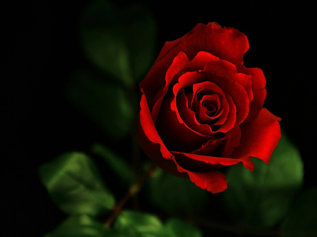 Red Rose Live Wallpaper Free Download Red Flower Wallpaper Hd