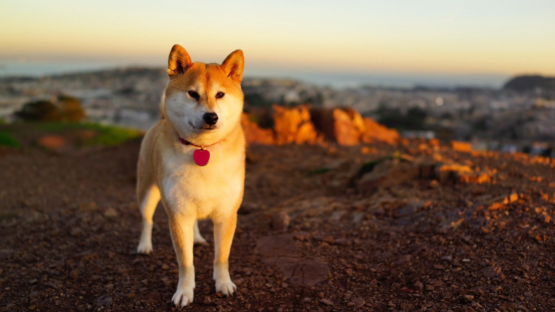 Animals Shiba Inu Dog Wallpaper Akita Inu Hd 262660 Hd Wallpaper Backgrounds Download