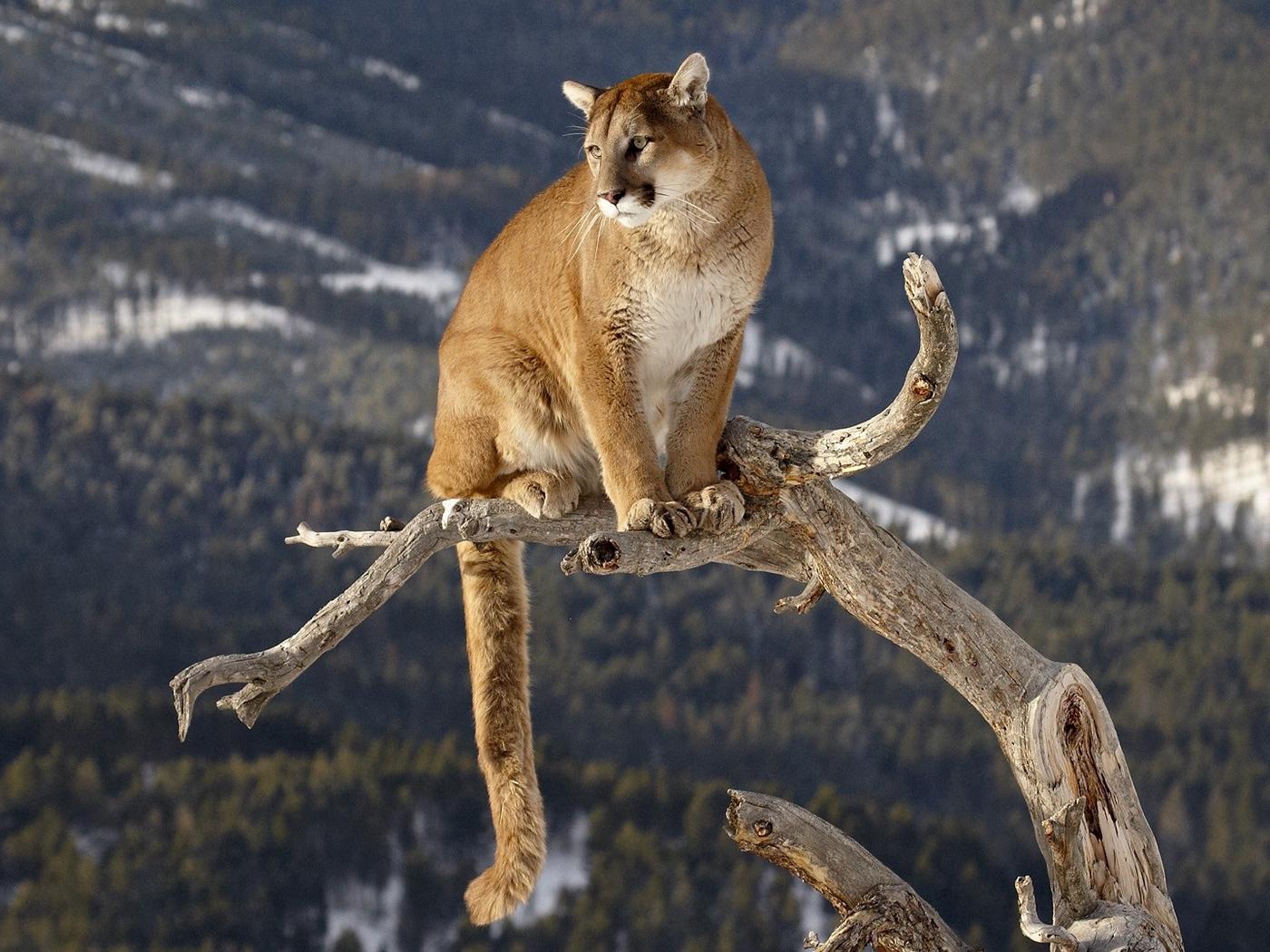 Wallpaper Puma, Branches, Mountains, Grass, Sitting, - Mountain Lion , HD Wallpaper & Backgrounds